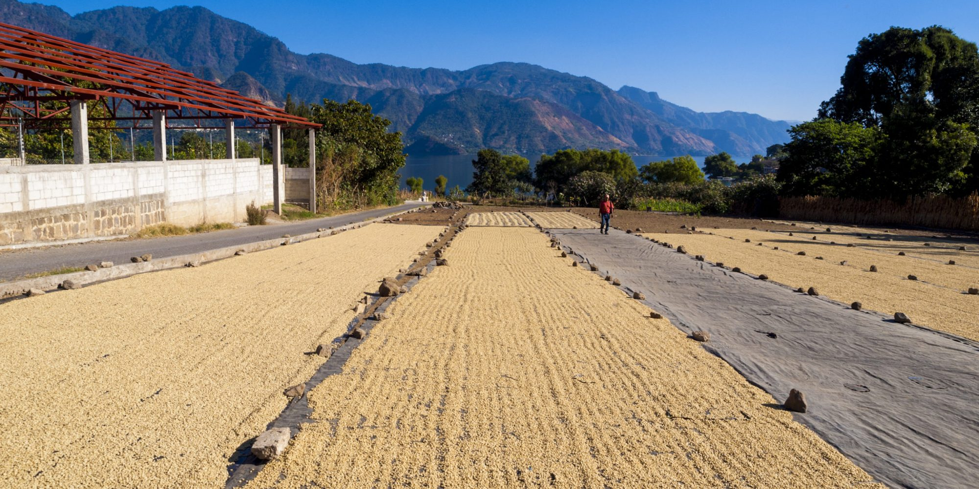 San Pedro de Lago, Guatemala - January 2, 2009: Coffee beans are laid out to dry in the sun in rows by lake Atitlan. A man can be seen in the distance.